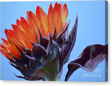 Sunflower Absorbing The Blue Sky Canvas Print by Mary Deal