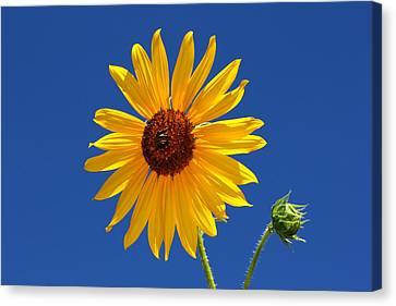 Sunflower Against Blue Sky Canvas Print
