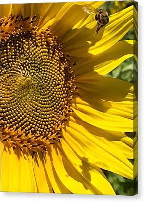 Sunflower And Bee Canvas Print by Darice Machel McGuire