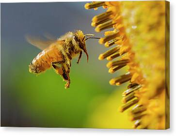 Sunflower And Bee Canvas Print by Mircea Costina Photography