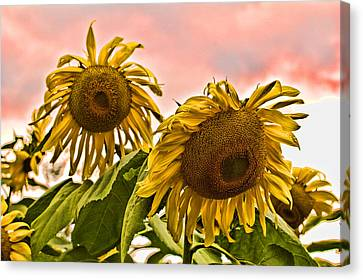 Sunflower Art 1 Canvas Print by Edward Sobuta