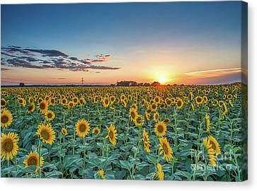 Texas Sunflowers At Sunset Canvas Print