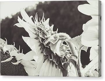 Canvas Print featuring the photograph Sunflower Black And White by Andrea Anderegg