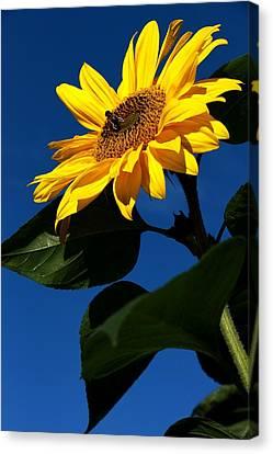 Sunflower Breakfast 1. Just Arrived  Canvas Print by Rusalka Koroleva
