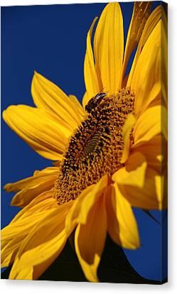 Sunflower Breakfast 2 Canvas Print by Rusalka Koroleva