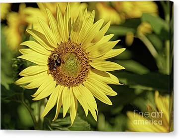 Canvas Print - Sunflower Bumble by Natural Focal Point Photography