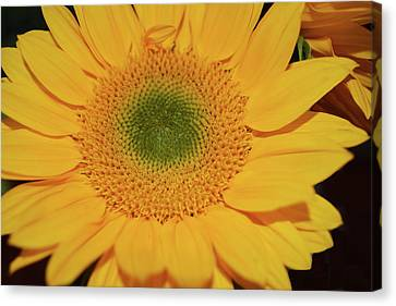Sunflower Burst Canvas Print by Aimee L Maher Photography and Art Visit ALMGallerydotcom