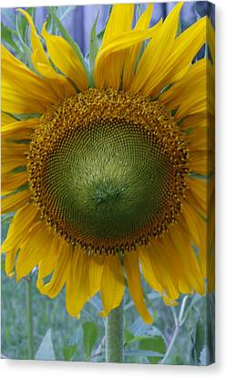 Sunflower Canvas Print by Catherine Alfidi