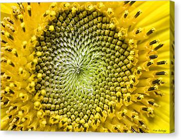 Sunflower Central Canvas Print by Fran Gallogly
