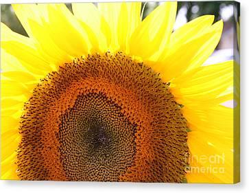 Sunflower Canvas Print by Chuck Kuhn