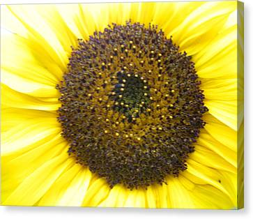 Sunflower Close Up Canvas Print by Sonya Chalmers