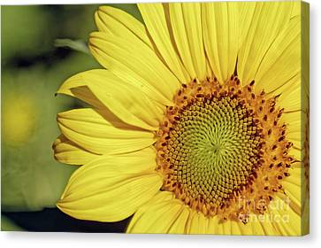 Canvas Print - Sunflower Closeup by Natural Focal Point Photography