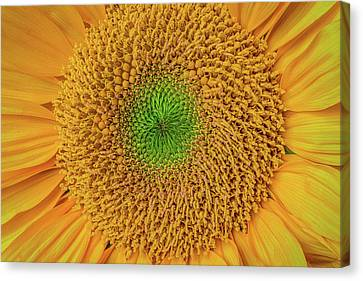 Sunflower Detail Canvas Print