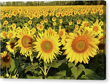 Canvas Print featuring the photograph Sunflower Faces by Ann Bridges