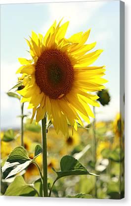 Sunflower Canvas Print by Falko Follert