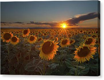 Stamen Canvas Print - Sunflower Field - Colorado by Lightvision, LLC