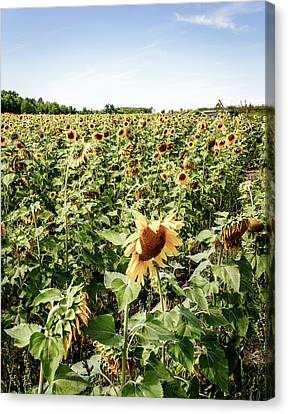 Canvas Print featuring the photograph Sunflower Field by Alexey Stiop