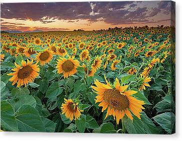 Flower Canvas Print - Sunflower Field In Longmont, Colorado by Lightvision