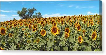 Sunflower Field One Canvas Print by Barbara McDevitt