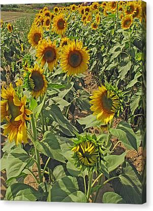 Sunflower Field Two Canvas Print by Barbara McDevitt
