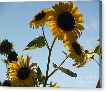 Sunflower Gang From Below Canvas Print by Anna Lisa Yoder