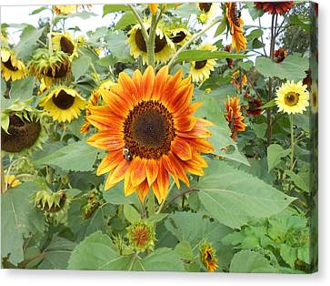 Sunflower Garden Canvas Print by Diannah Lynch