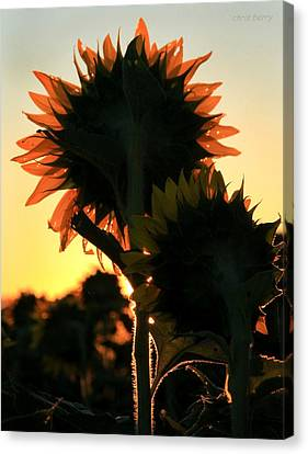 Canvas Print featuring the photograph Sunflower Greeting  by Chris Berry