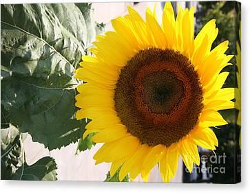 Sunflower II Canvas Print by Chuck Kuhn