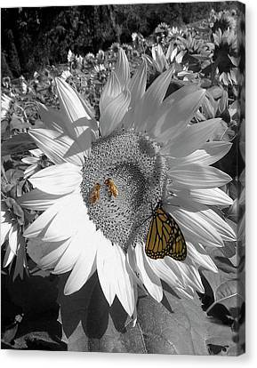 Sunflower In Black And White Canvas Print