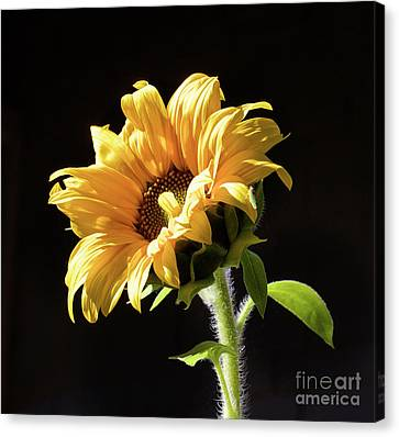 Sunflower Isloated On Black Canvas Print