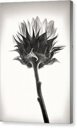 Canvas Print featuring the photograph Sunflower by John Hansen
