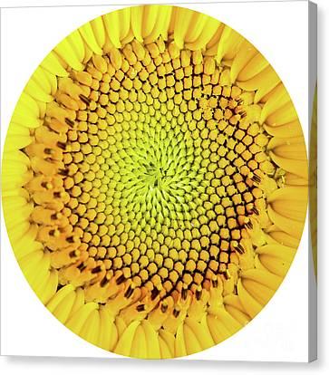 Sunflower Large Round Beach Towel Design Canvas Print