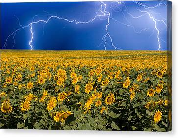 Sunflower Lightning Field  Canvas Print by James BO  Insogna