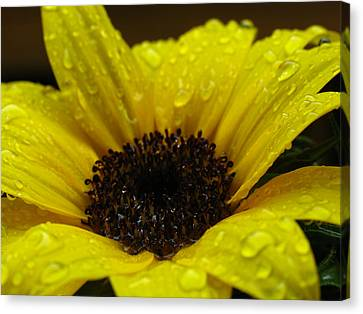 Sunflower Macro Canvas Print by Juergen Roth