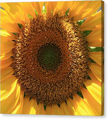 Sunflower  Canvas Print by Marna Edwards Flavell