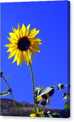 Sunflower Canvas Print by Marty Koch