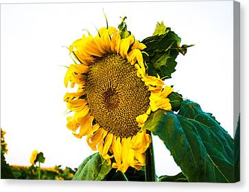 Sunflower Morning #1 Canvas Print by Mindy Musick King