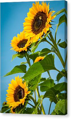 Sunflower Morning Canvas Print by Debbie Karnes