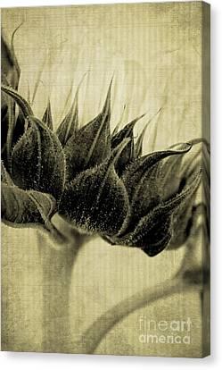Sunflower Nostalgia Canvas Print by Clare Bevan