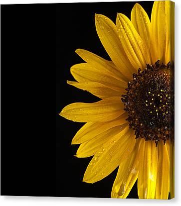 Sunflower Number 3 Canvas Print by Steve Gadomski