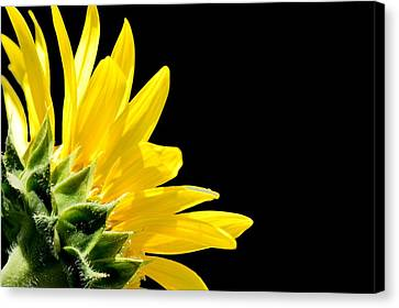 Sunflower On Black Canvas Print