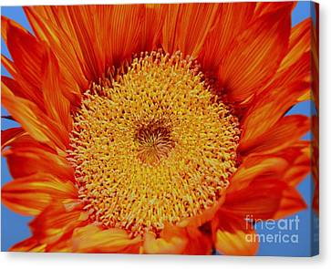 Sunflower On Fire Canvas Print by Mary Deal