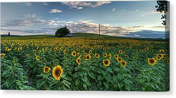 Sunflower Panorama Canvas Print by Mark Kiver