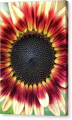 Asteraceae Canvas Print - Sunflower Pastiche by Tim Gainey