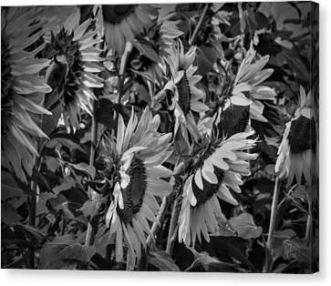 Sunflower Patch 001 Bw Canvas Print by Lance Vaughn