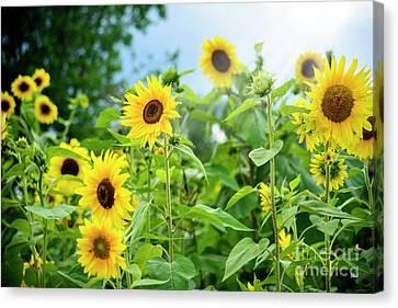 Sunflower Patch Canvas Print by Alana Ranney