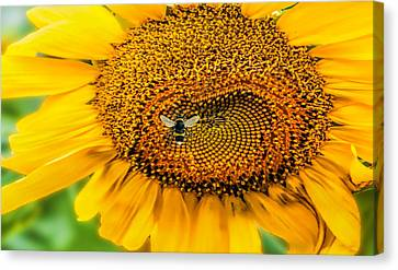 Sunflower Patch Canvas Print by Pat Cook