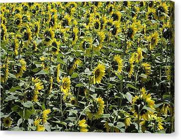 Sunflower Patterns Canvas Print by Fran Gallogly