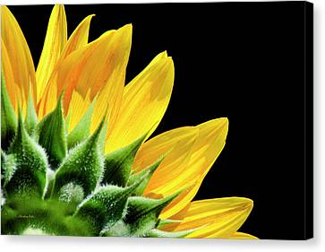 Canvas Print featuring the photograph Sunflower Petals by Christina Rollo