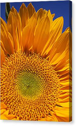 Close Up Floral Canvas Print - Sunflower Petals by Garry Gay
